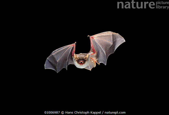 Greater mouse eared bat flying (Myotis myotis) Germany, BATS,EUROPE,MAMMALS,NIGHT,MOVEMENT,PORTRAITS,CHIROPTERA,FLYING, Hans Christoph Kappel