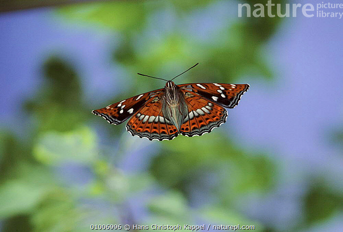 Poplar admiral butterfly flying, Germany. Life cycle sequence 7  ,  HK,GERMANY,HORIZONTAL,INSECTS,VERTICAL,SEQUENCE,EUROPE,CYCLE,FLYING,OUTSTANDING,INVERTEBRATES  ,  Hans Christoph Kappel