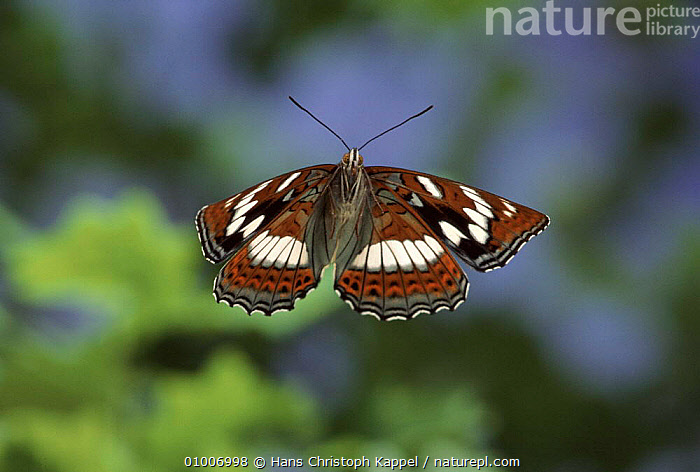 Poplar admiral butterfly flying, Germany. Captive  ,  BUTTERFLY,EUROPE,FLYING,GERMANY,HK,HORIZONTAL,INSECTS,OUTSTANDING,WINGS,INVERTEBRATES  ,  Hans Christoph Kappel
