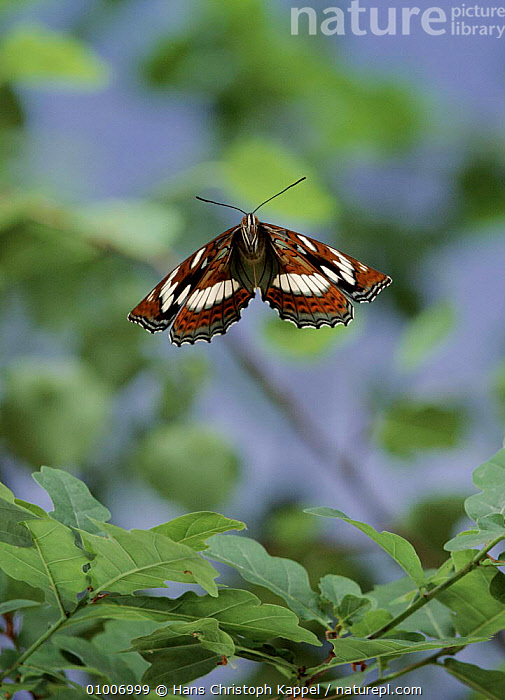 Poplar admiral butterfly flying, Germany, FLYING,GERMANY,INSECTS,BUTTERFLIES,VERTICAL,EUROPE,HK,INVERTEBRATES, Hans Christoph Kappel