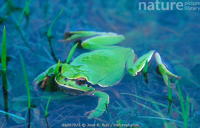 Common treefrog in water (Hyla arborea) Spain, AMPHIBIANS,ANURA,EUROPE,FROGS,GREEN,LAKES,PONDS,RR,SPAIN,TREEFROG,TREEFROGS,WATER,WETLANDS, Jose B. Ruiz