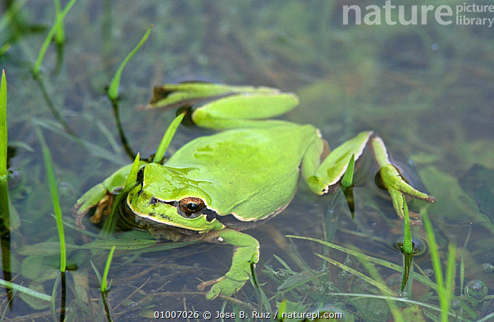 Common treefrog in water (Hyla arborea) Spain, AMPHIBIANS,ANURA,EUROPE,FROGS,GREEN,PORTRAITS,SPAIN,TREE FROGS,VERTEBRATES,WATER,WETLANDS, Jose B. Ruiz