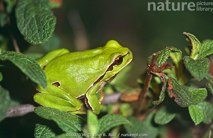 Common treefrog (Hyla arborea) Spain  ,  AMPHIBIANS,ANURA,EUROPE,FROGS,GREEN,SPAIN,TREE FROGS,VERTEBRATES  ,  Jose B. Ruiz