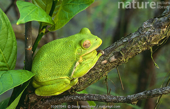 Barking treefrog resting at day roost (Hyla gratiosa) Blackbird State Forest, Delaware, USA  ,  AMPHIBIANS,ANURA,FROGS,GREEN,NOCTURNAL,NORTH AMERICA,RESTING,SLEEPING,TREE FROGS,USA,VERTEBRATES  ,  Doug Wechsler