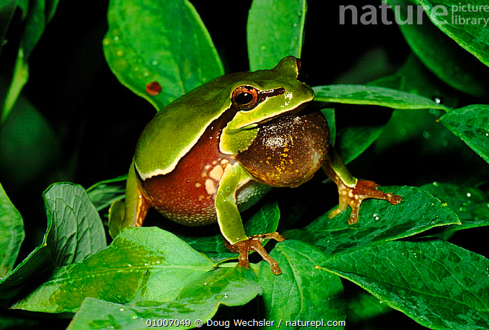 Pine barrens treefrog (Hyla andersoni) singing. Blackbird State Forest, Delaware, USA, AMPHIBIANS, CAMOUFLAGE, NIGHT, RIVERS, USA, VOCALISATION, Anura, COMMUNICATION, DISPLAY, FROGS, GREEN, HORIZONTAL, LAKES, MALES, REPRODUCTION, TREE-FROGS, VERTEBRATES,North America, Doug Wechsler