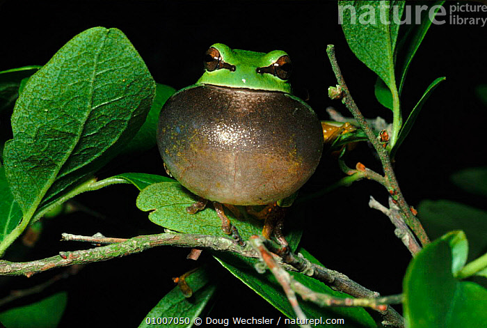 Pine Barrens Treefrog singing, Delaware, Blackbird State Forest, USA  ,  AMPHIBIANS, Anura, COMMUNICATION, FROGS, HUMOROUS, MALES, REPRODUCTION, TREE-FROGS, USA, VERTEBRATES, DISPLAY, HORIZONTAL, NIGHT, VOCALISATION,Concepts,North America  ,  Doug Wechsler