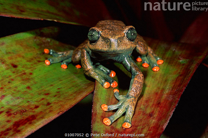 Treefrog on undesrtorey palm frond, River Napo Amazon Basin, Ecuador, AMAZON,AMPHIBIANS,CLIMBING,DWE,ECUADOR,FROND,,LEAVES,NAPO,NIGHT,PALM,RAINFOREST,RIVER,SOUTH AMERICA,TREEFROGS,TROPICAL,TROPICAL RAINFOREST,UNDERSTOREY ,LAKES , understory, Pete Oxford