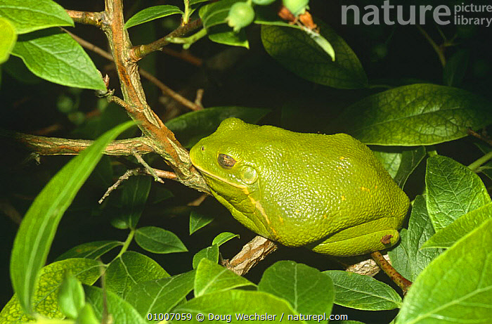 Barking treefrog at day roost (Hyla gratiosa)Blackbird State Forest, Delaware, USA  ,  AMPHIBIANS,ANURA,FROGS,GREEN,NOCTURNAL,NORTH AMERICA,RESTING,SLEEPING,TREE FROGS,USA,VERTEBRATES  ,  Doug Wechsler