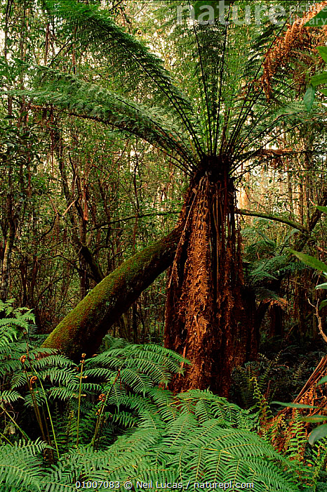 Tree fern. South Australia  ,  ANCIENT,FERN,FERNS,FOREST,NL,PLANTS,TREE  ,  Neil Lucas