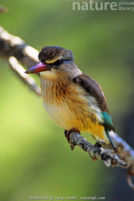 Brown hooded kingfisher (Halcyon albiventris) Kruger NP, South Africa  ,  AFRICA,BIRDS,KINGFISHERS,NP,PORTRAITS,SOUTHERN AFRICA,VERTEBRATES,VERTICAL,National Park  ,  Tony Heald