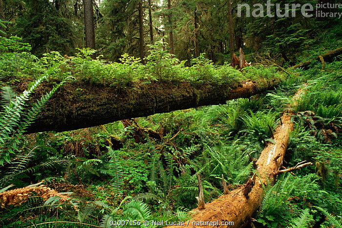 Fallen nurse log with ferns, Olympic NP, Washington State, USA  ,  FERNS,FORESTS,GREEN,HABITAT,NORTH AMERICA,PLANTS,TEMPERATE RAINFOREST,TREES,TRUNKS,UNDERSTOREY,USA , understory  ,  Neil Lucas