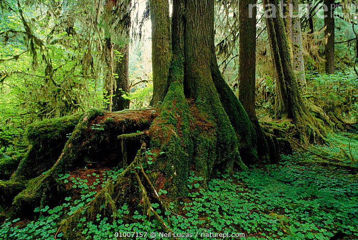 Nurse log in Olympic NP. Washington State, USA  ,  OLYPMIC,NURSE,TREES,NP,PARK,HORIZONTAL,LOG,TEMPERATE RAINFOREST,STATE,PLANTS,NATIONAL PARK,North America,USA  ,  Neil Lucas