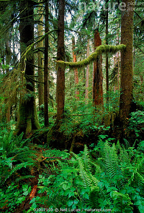 Nurse log in Olympic NP, Washington State, USA, NURSE,OLYPMIC,VERTICAL,LOG,NP,TREES,PARK,STATE,TEMPERATE RAINFOREST,PLANTS,NATIONAL PARK,North America,USA, Neil Lucas