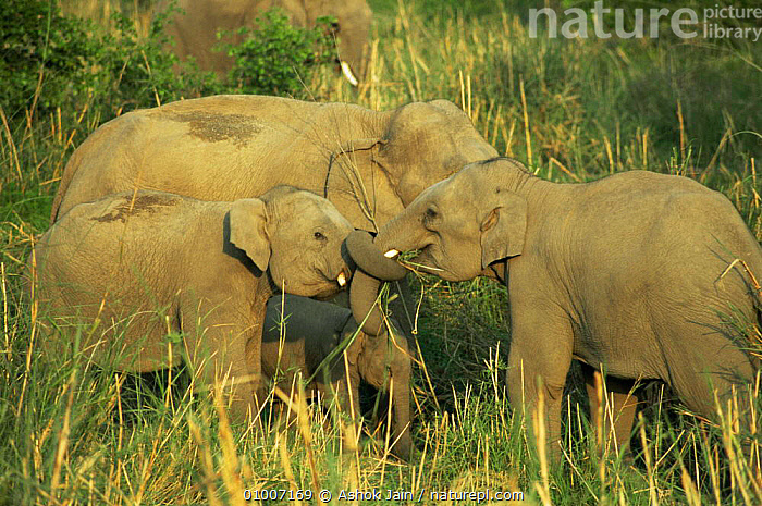 Young playful Indian elephants (Elephas maximus)  Corbett NP, India, calves,ELEPHANTS,ENDANGERED,GRASSLAND,GROUPS,immature,INDIAN SUBCONTINENT,JUVENILE,MAMMALS,NP,playful,PROBOSCIDS,RESERVE,VERTEBRATES,young,Asia,National Park, Ashok Jain