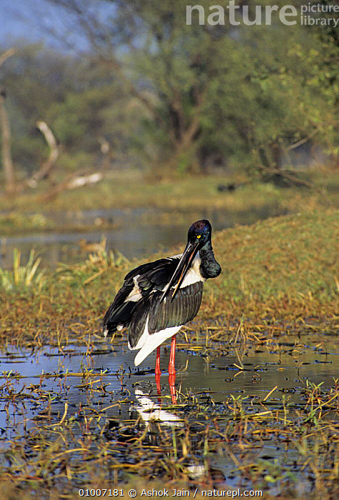 Black necked stork (Eohippiorhynchus asiaticus) preening, Keoladeo NP, Bharatpur, India, BEHAVIOUR,BIRDS,GROOMING,INDIA,NP,RESERVE,STORKS,VERTEBRATES,VERTICAL,National Park,,UNESCO World Heritage Site,, Ashok Jain