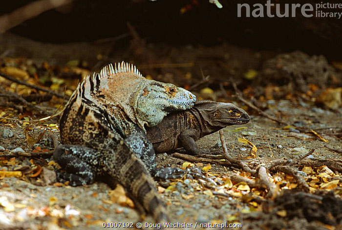 Spiny iguanas mating (Ctenosaura similis) Costa Rica, CENTRAL AMERICA,COPULATION,FEMALES,IGUANAS,LIZARDS,MALE FEMALE PAIR,MALES,MATING,REPRODUCTION,REPTILES,TROPICAL,VERTEBRATES, Iguanas, Doug Wechsler