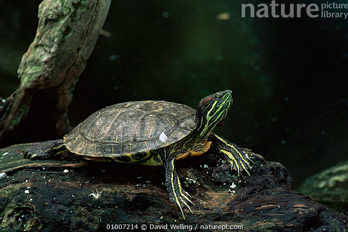 Red eared turtle (Pseudemys scripta elegans) USA. captive, most widely kept pet turtle  ,  AMPHIBIANS,CHELONIA,PETS,RED,REPTILES,TURTLES,USA,VERTEBRATES,North America, Turtles  ,  David Welling
