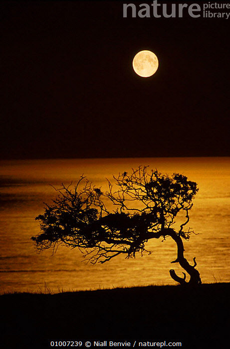 Hawthorn (Crataegus monogyna) against moonlit sea. Montrose, Scotland, UK, Europe (This image may be licensed either as rights managed or royalty free.)  ,  MONOGYNA,SUMMER,EUROPE,SILHOUETTES,CRATAEGUS,NIGHT,MOONLIT,LANDSCAPES,SCOTLAND,HAWTHORN,MONTROSE,UK,VERTICAL,ATMOSPHERIC,SEA,UNITED KINGDOM,BRITISH,RF, royalty free, RF3,,RF3,,RF,  ,  Niall Benvie