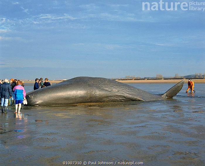 Beached Sperm whale (Physeter macrocephalus). Norfolk, England, UK, Europe  ,  DEATH,PEOPLE,CETACEANS,MARINE,UK,NORFOLK,WINTER,ENGLAND,BEACHED,BEACHES,HORIZONTAL,MALES,MAMMALS,EUROPE,UNITED KINGDOM,BRITISH  ,  Paul Johnson