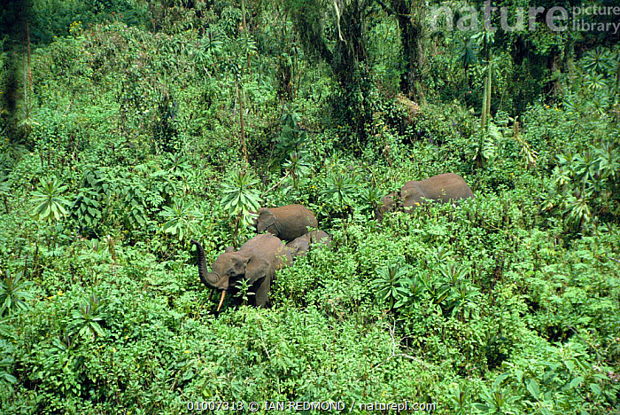 Forest Elephants with trunks raised among Giant Lobelia. Rwanda Parc National des Volcans, INTERESTING,TROPICAL RAINFOREST,BREEZE,EAST AFRICA,CYCLOTIS,WOODLANDS,LOBELIA,MAMMALS,TESTING,AFRICA,LANDSCAPES,GROUPS,FAMILIES,PROBOSCIDS,TROPICAL,ELEPHANTS, IAN REDMOND