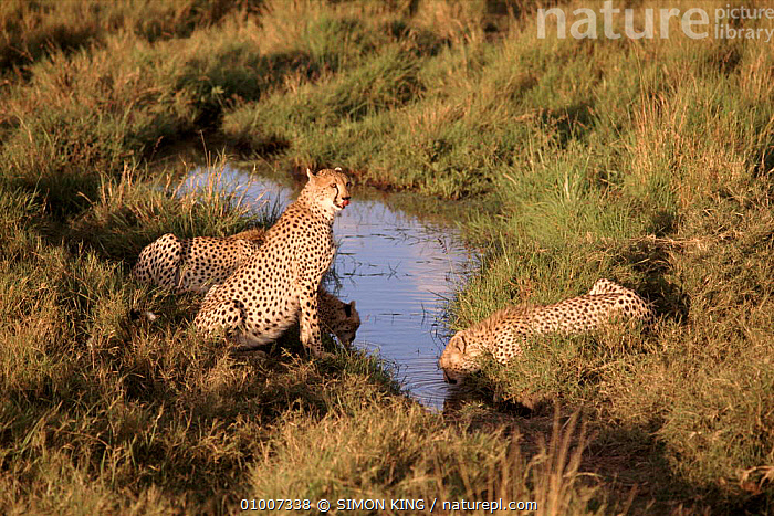 Cheetahs drinking at stream. South Africa  ,  SK,THREE,WATER,AFRICA,MAMMALS,CARNIVORES,DRINKING,HORIZONTAL,SOUTHERN AFRICA  ,  SIMON KING