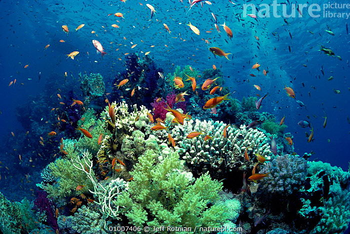 Anthias fish schooling over coral reef. Red Sea, BIODIVERSTIY,CORAL,CORAL REEFS,FISH,GROUPS,JR,LANDSCAPES,MARINE,MIXED SPECIES,REEF,SCHOOLING,SCHOOLS,TROPICAL,UNDERWATER, Jeff Rotman