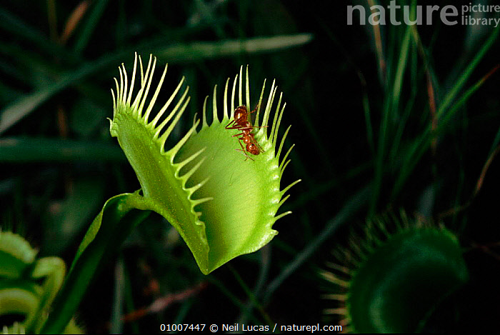 Venus Flytrap (Dionaea muscipula) with ant. Botanical Gardens, North Carolina, USA, USA,,MIXED SPECIES,CAPTIVE,LEAVES,ANT,NORTH,BOTANICAL,CAROLINA,GARDENS,HORIZONTAL,INSECTS,VERTICAL,PLANTS,BOGS ,INSECTIVOROUS,NORTH AMERICA,WETLANDS,INVERTEBRATES, Neil Lucas
