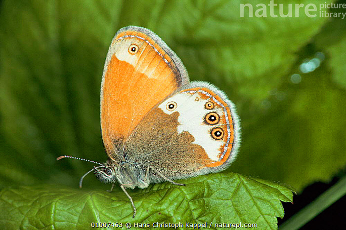 Pearly Heath Butterfly (Coenonympha arcania) captive, Germany, ARTHROPODS,EUROPE,INSECTS,INVERTEBRATES,LEPIDOPTERA, Hans Christoph Kappel