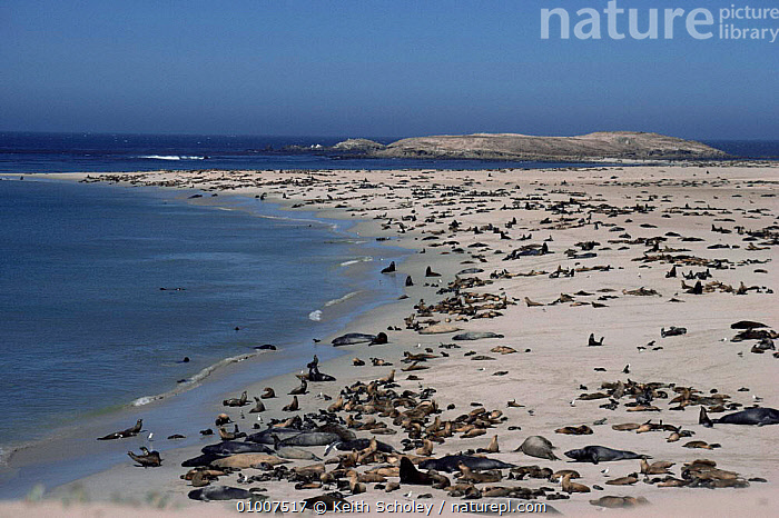 California sealion & N. elephant seal colonies, San Miguel Island California  ,  BABIES,BEACHES,CARNIVORES,FAMILIES,GROUPS,INTERESTING,MAMMALS,MARINE,PACIFIC OCEAN,PARENTAL,PINNIPEDS,SEALIONS,SEALS,SEXUAL DIMORPHISM,USA,VERTEBRATES,North America, CARNIVORES , CARNIVORES  ,  Keith Scholey