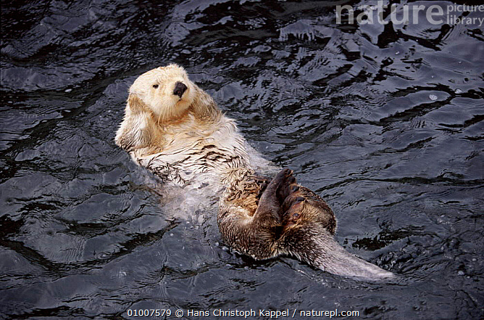 Sea otter floating on back in Vancouver Aquarium, Canada, SWIMMING,CAPTIVE,CANADA,MARINE,HK,PORTRAITS,RESTING,CUTE,HORIZONTAL,MAMMALS,NORTH AMERICA,MUSTELIDS, Hans Christoph Kappel