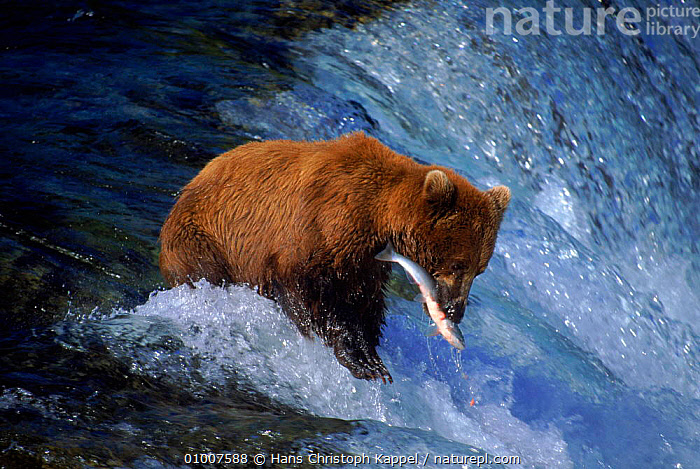 Brown bear catches salmon Katmai NP, Alaska, USA  ,  ALASKA,BEARS,BEHAVIOUR,CARNIVORES,CATCHES,FISH,FISHING,GRIZZLY,HK,KATMAI,MAMMALS,NATIONAL PARK,NORTH AMERICA,NP,OUTSTANDING,PREDATION,RIVER,RIVERS,SALMON,SUCESS,USA  ,  Hans Christoph Kappel