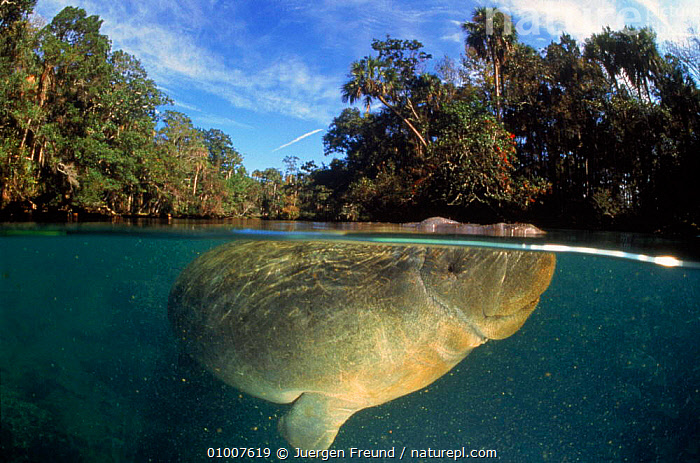 West Indian manatee (Trichechus manatus), released after being hit by power boat. Florida, USA, UNDERWATER,SPLIT,MARINE,SPLIT LEVEL,COASTAL WATERS,FLORIDA,HORIZONTAL,USA,LANDSCAPES,LEVEL,MAMMALS,VULNERABLE,NORTH AMERICA,SIRENIA,Catalogue1, Jurgen Freund