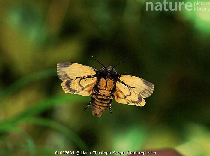 Deaths head hawk moth (Acheronitia atropos) in flight. Germany, Europe  ,  INVERTEBRATE,GERMANY,HORIZONTAL,FLYING,INSECTS,VERTICAL,CAPTIVE,PORTRAITS,FLIGHT,EUROPE,INVERTEBRATES,LEPIDOPTERA  ,  Hans Christoph Kappel