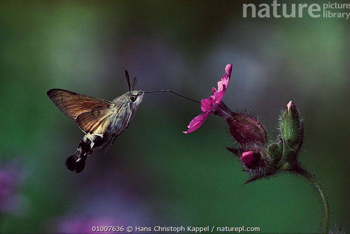Hummingbird hawkmoth feeding on flower nectar, Germany  ,  FEEDING,INSECTS,SUMMER,GERMANY,NECTAR,PROBOSCIS,PROFILE,FLYING,HK,PORTRAITS,EUROPE,FLOWER,OUTSTANDING,INVERTEBRATES,LEPIDOPTERA,Catalogue1  ,  Hans Christoph Kappel