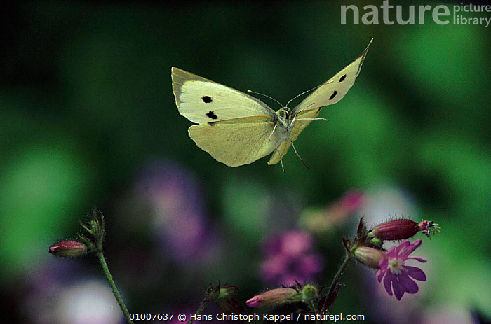 Large white / Cabbage white butterfly flying, Germany  ,  EUROPE,FLYING,GERMANY,HK,HORIZONTAL,INSECTS,INVERTEBRATES,LEPIDOPTERA,OUTSTANDING,PORTRAITS,WINGS,Catalogue1  ,  Hans Christoph Kappel