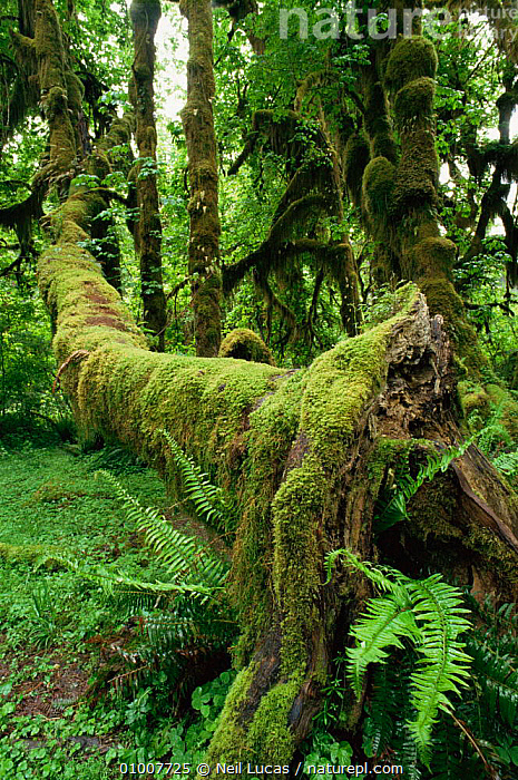 Mosses covering fallen tree trunk, Olympic NP, Washington State, USA  ,  FERNS,GREEN,HABITAT,MOSS,NORTH AMERICA,NP,TEMPERATE RAINFOREST,TREES,USA,VERTICAL,Plants,National Park  ,  Neil Lucas