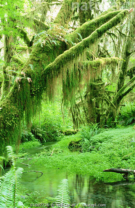 Mosses on trees, Olympic NP, Washington state, USA  ,  GREEN,HABITATS,MOSS,MOSSES,NORTH AMERICA,NP,RESERVE,TEMPERATE RAINFOREST,TEMPERATE RAINFOREST,TREES,USA,VERTICAL,Plants,National Park  ,  Neil Lucas
