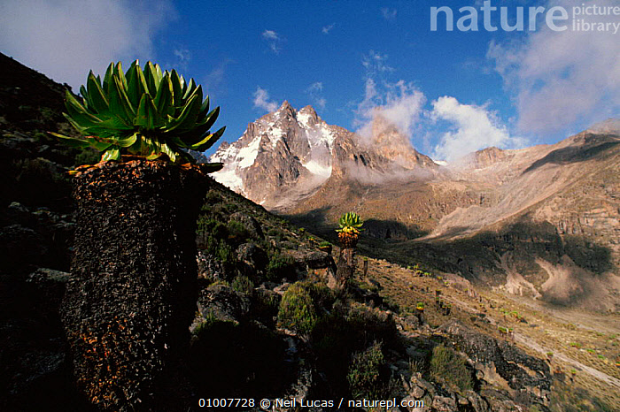 Mt Kenya with giant groundsels, Kenya, East Africa  ,  AFRICA,MT,SNOW,SCENIC,MOUNTAINS,GIANT,PLANTS,HIGHLANDS,HORIZONTAL,LANDSCAPES,GROUNDSELS,NL,EAST-AFRICA  ,  Neil Lucas