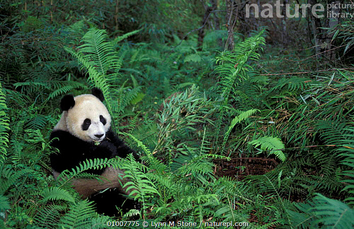 Giant panda feeding on bamboo Wolong Nature Reserve, China Captive, BROADLEAF,ENDANGERED,MAMMALS,SICHUAN,PANDAS, Lynn M Stone
