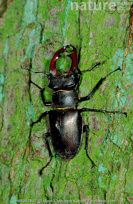 Stag beetle (Lucanus cervus) on tree trunk. Germany, Europe, MALES,TREE,TRUNK,WOODLANDS,INVERTEBRATE,VERTICAL,ANCIENT,INSECTS,EUROPE,GERMANY,PORTRAITS,INVERTEBRATES,COLEOPTERA, Hans Christoph Kappel