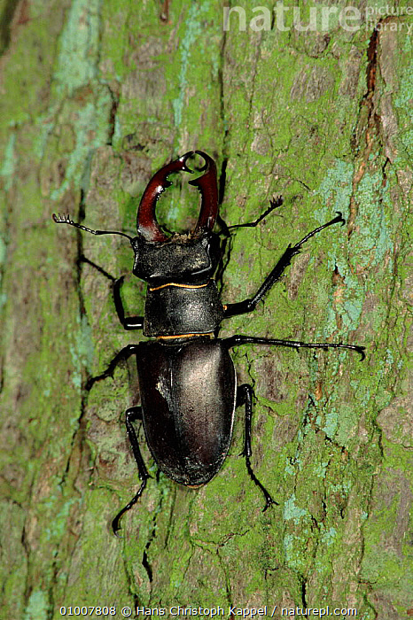Stag Beetle on tree trunk, Germany, PORTRAITS,VERTICAL,GERMANY,MALES,BARK,TREE,EUROPE,INSECTS,HK,PLANTS,INVERTEBRATES,COLEOPTERA, Hans Christoph Kappel
