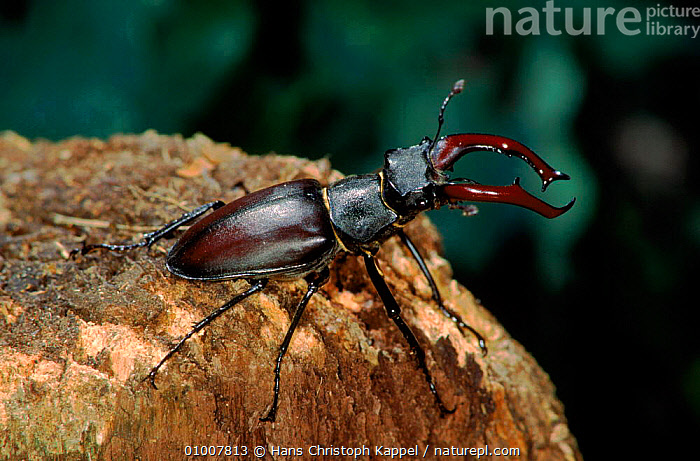 Stag Beetle male, Germany  ,  GERMANY,MALES,INSECTS,PORTRAITS,HK,WOODLANDS,EUROPE,INVERTEBRATES,COLEOPTERA  ,  Hans Christoph Kappel