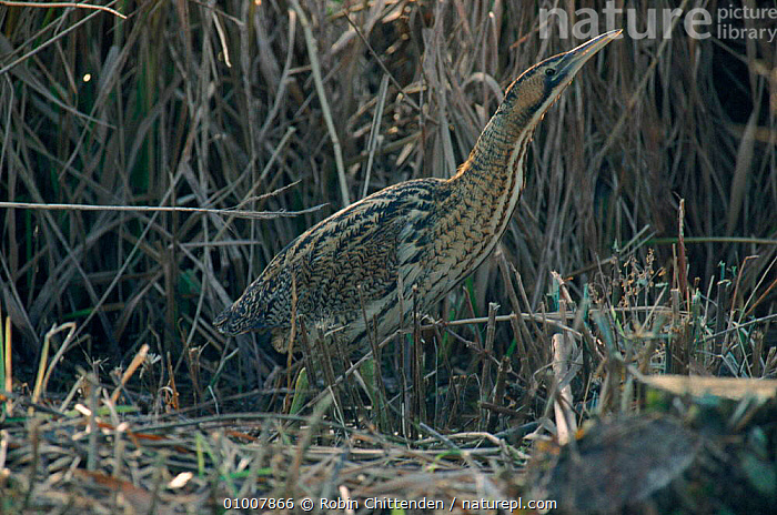 Bittern in reed bed, England  ,  RC,HERTFORDSHIRE,REED,,WETLANDS,BIRDS,EUROPE,CAMOUFLAGE,ENGLAND,HORIZONTAL ,WADING BIRDS  ,  Robin Chittenden