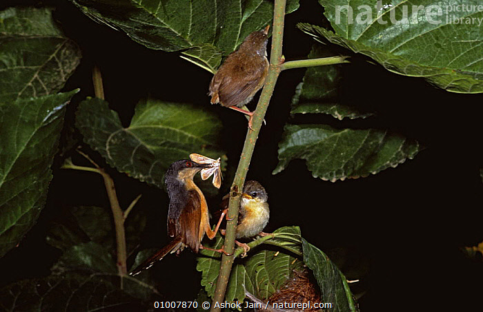 Ashy prinia feeding chicks (Prinia socialis) Delhi Ridge Forests, India, BABIES,BIRDS,CHICKS,FAMILIES,FEEDING,FORESTS,INDIA,INDIAN SUBCONTINENT,PARENTAL,PRINIAS,VERTEBRATES,Asia, Ashok Jain