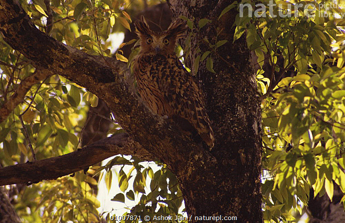 Brown Fish Owl (Bubo zeylonensis) in tree. Corbett NP, India, BIRDS,BIRDS OF PREY,CAMOUFLAGE,INDIAN SUBCONTINENT,NP,OWLS,PORTRAITS,RESERVE,VERTEBRATES,Asia,National Park,Raptor, Ashok Jain