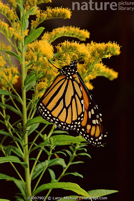 Monarch Butterfly on golden rod flowers, YELLOW,USA,INSECTS,VERTICAL,LM,PLANT,FLOWERS,PORTRAITS,NORTH AMERICA,INVERTEBRATES,LEPIDOPTERA, Larry Michael