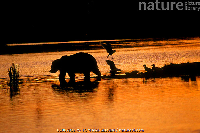 Brown bear silhouetted in river at sunset Brooks River, Katmai NP, Alaska  ,  CANADA,BEARS,MAMMALS,SILHOUETTES,NORTH AMERICA  ,  TOM MANGELSEN