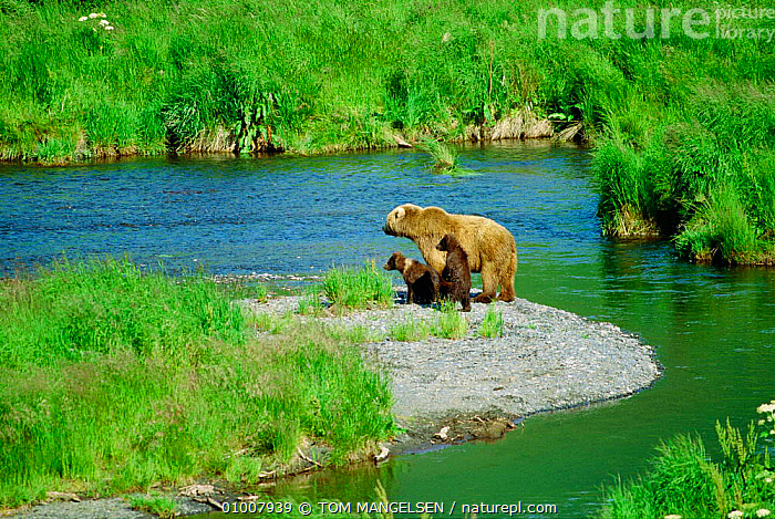 Brown bear {Ursus arctos} mother & cubs watch for fish by McNeil River, Alaska, BEARS,FAMILIES,HABITAT,MAMMALS,RIVERS,USA,North America, TOM MANGELSEN