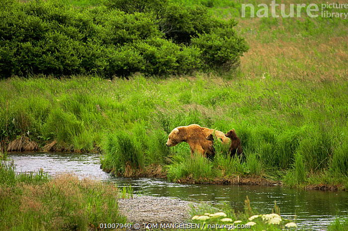 Brown bear {Ursus arctos} mother and cubs watch for fish by McNeil River, Alaska, USA  ,  BABIES,BEARS,BEHAVIOUR,CARNIVORES,FAMILIES,HABITAT,MAMMALS,north america,RIVERS,USA,VERTEBRATES  ,  TOM MANGELSEN