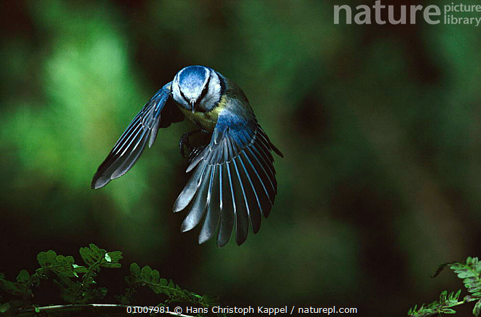 Blue tit flying, Germany  ,  FLYING,BIRDS,HK,WINGS,GERMANY,HORIZONTAL,FEATHERS,EUROPE,Catalogue1  ,  Hans Christoph Kappel